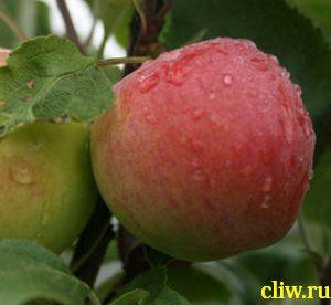 Яблоня домашняя (malus domestica) розоцветные (rosaceae) мантет