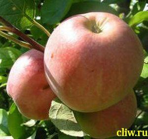 Яблоня домашняя (malus domestica) розоцветные (rosaceae) мельба