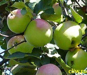Яблоня домашняя (malus domestica) розоцветные (rosaceae) синап орловский
