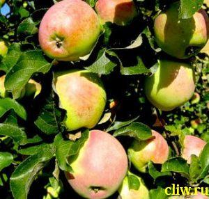 Яблоня домашняя (malus domestica) розоцветные (rosaceae) синап северный