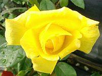 Розы - систематизация садовых групп