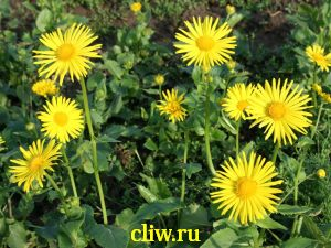 Дороникум восточный (doronicum orientale) астровые (asteraceae) little leo