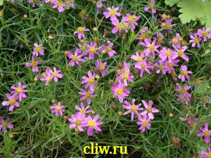 Кореопсис розовый (coreopsis rosea) астровые (asteraceae) american dream