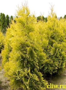 Туя западная (thuja occidentalis) кипарисовые (cupressaceae) aurescens